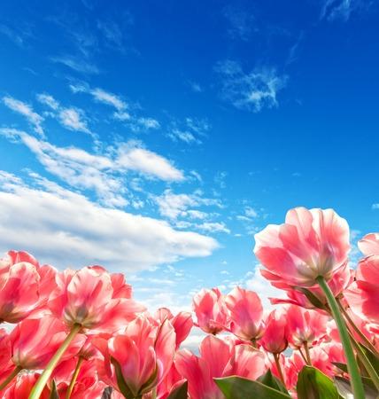 tulipan: Piękne kolorowe pola tulipanów z pięknym niebieskim pochmurne niebo