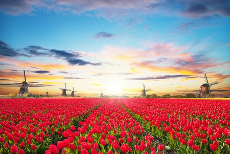 field sunset: Vibrant tulips field with Dutch windmill, Netherlands. Beautiful cloudy sky Stock Photo