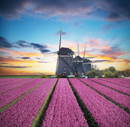 holland: Vibrant tulips field with Dutch windmill, Netherlands. Beautiful cloudy sky Stock Photo