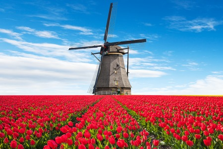 Vibrant tulips field with Dutch windmill, Netherlands. Beautiful cloudy sky 免版税图像