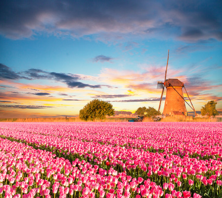 tulips field: Vibrant tulips field with Dutch windmill, Netherlands. Beautiful cloudy sky Stock Photo