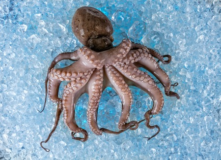 drifting ice: Fresh whole octopus placed on ice cubes