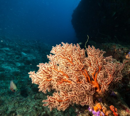 acropora: Coral reef with detail of soft corals and exotic fish on bottom of Indian ocean, Maldives.