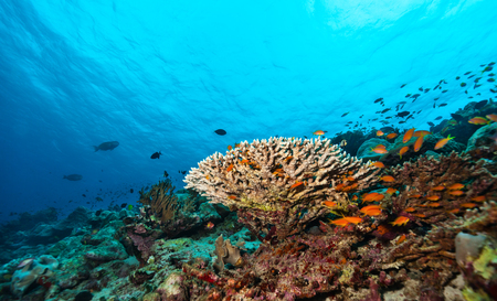 hard coral: Coral reef with soft and hard corals and exotic fish on bottom of Indian ocean, Maldives.
