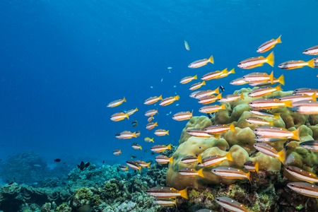 madreporaria: Coral reef with soft and hard corals and exotic fish on bottom of Indian ocean, Maldives.