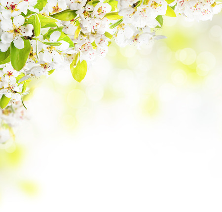 Cherry blossoms over blurred nature background, copyspace for text Stock Photo