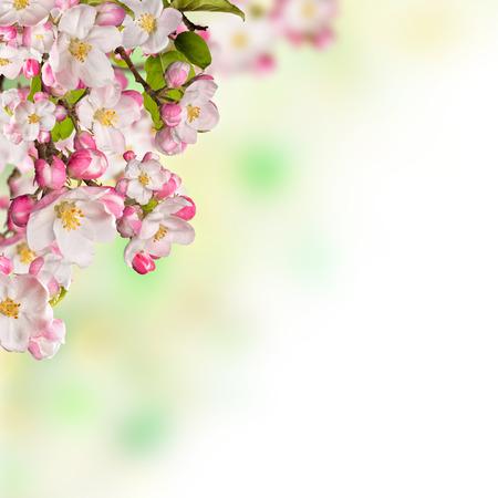 cerezos en flor: flores de cerezo sobre fondo de la naturaleza borrosa, copyspace para el texto Foto de archivo
