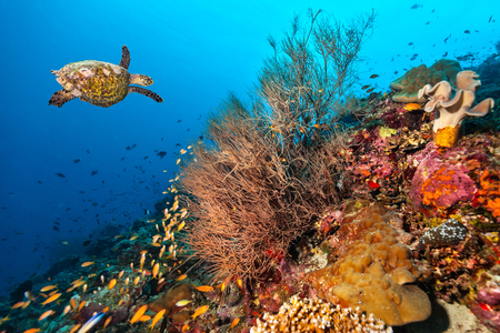 Coral reef with detail of soft corals and exotic fish and turtle on bottom of Indian ocean, Maldives.