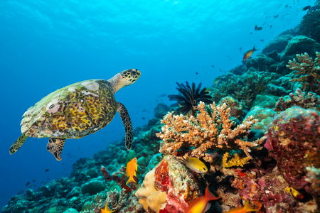 hard coral: Coral reef with detail of soft corals and exotic fish and turtle on bottom of Indian ocean, Maldives.