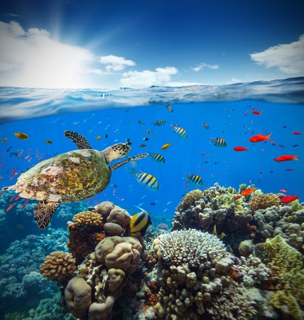 waterline: Underwater view of coral reef with horizon and water surface split by waterline. Detail of turtle exploring reef. Summer holiday concept. High Resolution
