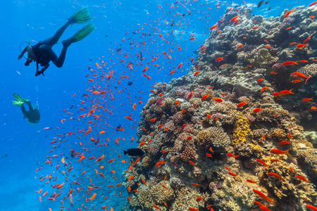 Scuba diver explore beautiful coral reef. Underwater photography in Red Sea, Egypt