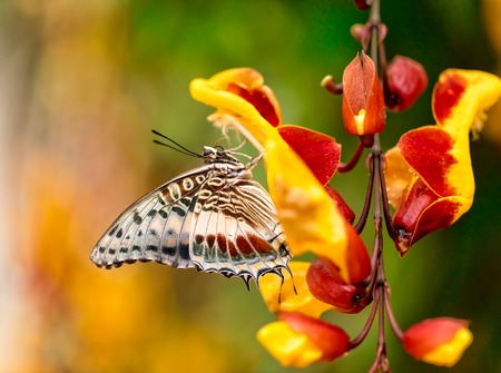 castor: Closeup macro photo of butterfly Charaxes Castor on flower blossom, low depth of focus