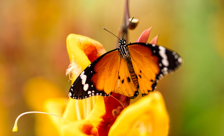 the color of silence: Closeup macro photo of butterfly Monarch on flower blossom, low depth of focus