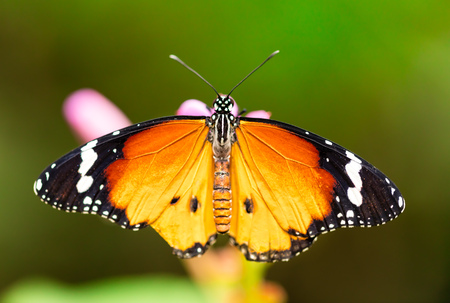 Closeup macro photo of butterfly Monarch on flower blossom, low depth of focus