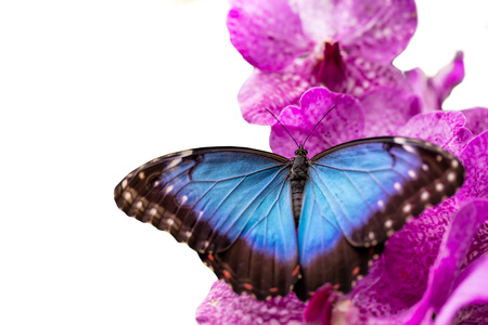 Closeup macro photo of butterfly Peleides Blue Morpho on orchid blossom, isolated on white background