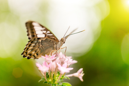 nymphalidae: Closeup macro photo of butterfly on flower blossom, low depth of focus Stock Photo