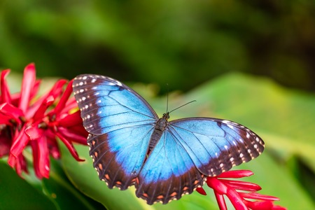 morpho: Closeup macro photo of butterfly Peleides Blue Morpho on flower blossom, low depth of focus