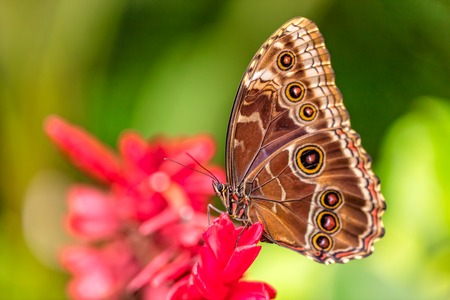 the color of silence: Closeup macro photo of butterfly Peleides Blue Morpho on flower blossom, low depth of focus