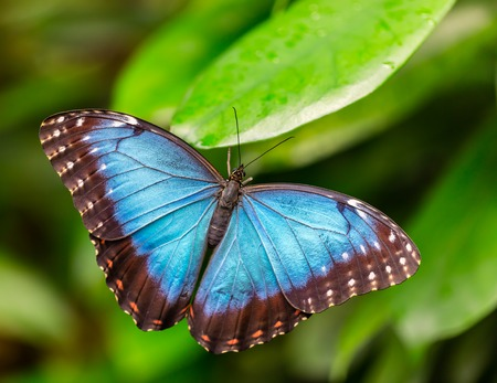 Closeup macro photo of butterfly Peleides Blue Morpho on leaf, low depth of focus Фото со стока