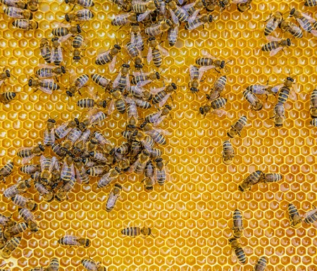 praiseworthy: Close up view of the working bees on honey cells, copyspace for text