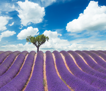 lavande: Beautiful landscape of blooming lavender field with sunny sky, lonely tree uphill on horizon. Provence, France, Europe. Stock Photo
