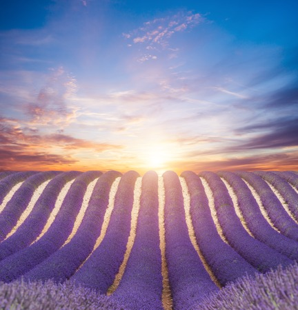 field sunset: Beautiful landscape of blooming lavender field in sunset. Provence, France, Europe.