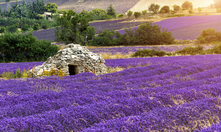 lavande: Beautiful landscape of blooming lavender field in Provence, France, Europe. Old stone farm house in middle of field.