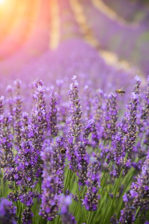 abundance: Beautiful lavender blossoms in detail with nice sunshine on background