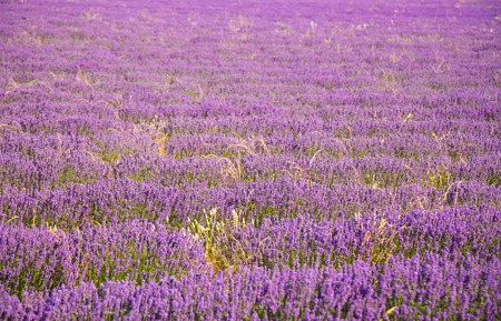 lavande: Beautiful landscape of blooming lavender field in Provence, France, Europe.