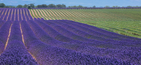 regularity: Lavender field in France during harvest, Provence Stock Photo