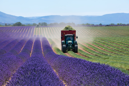 regularity: Lavender field in France during harvest time, Provence. Tractor and harvester in action Stock Photo