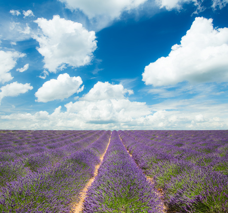 lavande: Beautiful landscape of blooming lavender field with sunny sky. Provence, France, Europe. Stock Photo