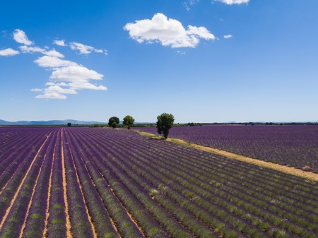 Beautiful landscape of blooming lavender field with sunny sky, lonely trees uphill on horizon. Provence, France, Europe. Stock Photo
