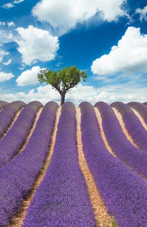 vertical: Hermoso paisaje de campo floreciente de la lavanda con el cielo nublado, cuesta arriba árbol solitario en el horizonte. Provenza, Francia, Europa.
