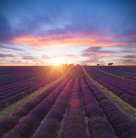 Beautiful landscape of blooming lavender field in sunset, lonely trees uphill on horizon. Provence, France, Europe.