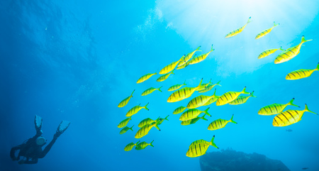 fish water: Flock of yellow fish with scuba diver exploring sea bottom.