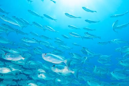 Flock of fish flowing in Indian ocean