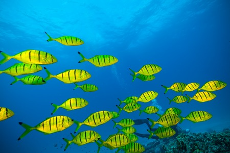 Flock of yellow fish flowing in Indian ocean Stock Photo