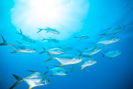 Bandada de peces que fluye en el Océano Índico Foto de archivo - 63054029