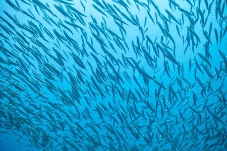 Troupeau de poissons qui coule dans l'océan Indien Banque d'images