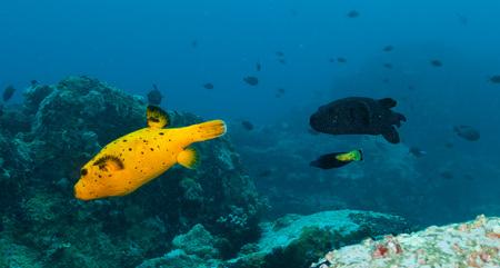 boxfish: Beautiful colored boxfish flowing in Indian ocean Stock Photo