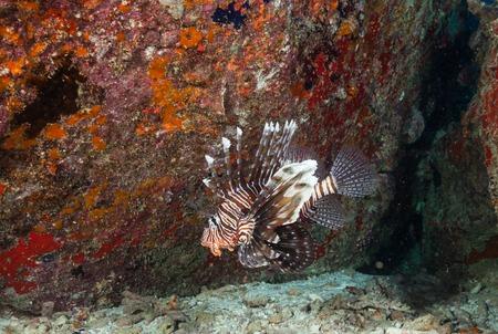 pterois: Lion fish, Pterois volitans flowing next to coral reef
