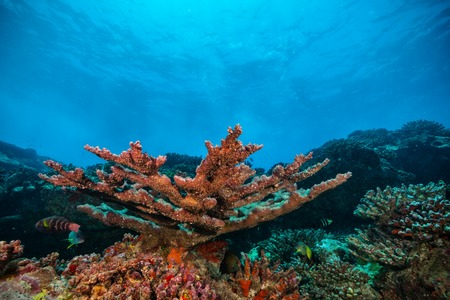 coral colored: Beautiful underwater colored coral reef garden background Stock Photo