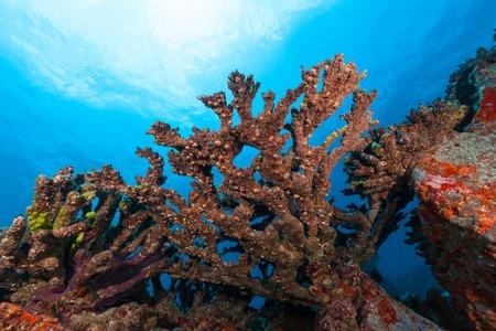 algas marinas: coral color de fondo bajo el hermoso arrecife de jardín