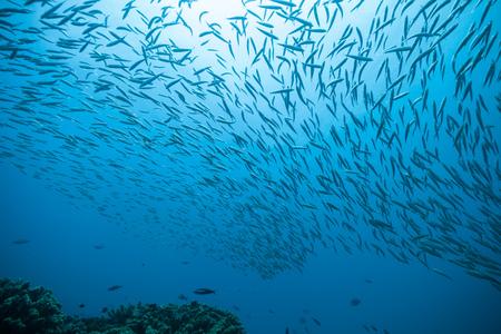 Troupeau de poissons qui coule dans l'océan Indien Banque d'images - 63054131