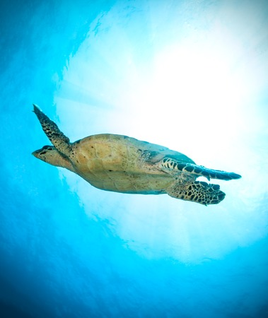 view on sea: Hawksbill Sea Turtle flowing in ocean, photographed from low angle view Stock Photo