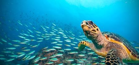 Karetschildpad stroomt in de Indische Oceaan, troep van vis op de achtergrond