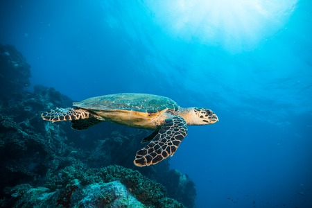 Hawksbill Sea Turtle flowing in Indian ocean Фото со стока