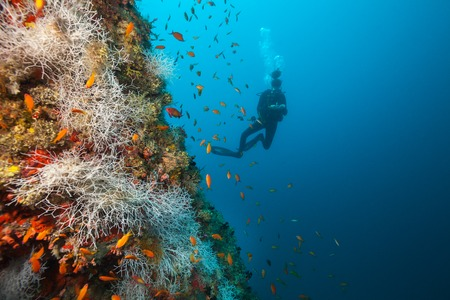 goatfish: Young woman scuba diver exploring coral reef, Maldives atolls, Indian Ocean. Lot of beautiful colored small fish and soft coral on foreground