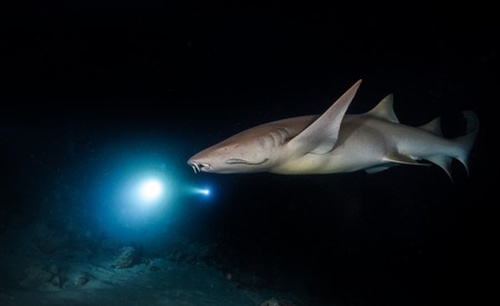Bonnethead shark hunting at night, scuba divers with torches on background Stock Photo